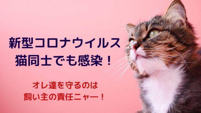 新型コロナウイルスが猫同士でも感染!人から猫は?猫から人は?